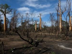 1200px-Slash_and_Burn_Agriculture,_Morondava,_Madagascar