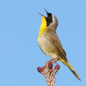 480px-Common_yellowthroat (1)